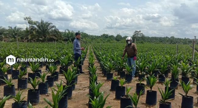 Replanting di Kuansing, PPKS Medan Sudah Salurkan 290.111 Bibit Unggul ke Petani