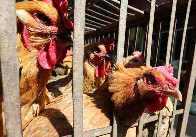 Belanda Diserang Wabah Flu Burung, Ribuan Ayam Dimusnahkan