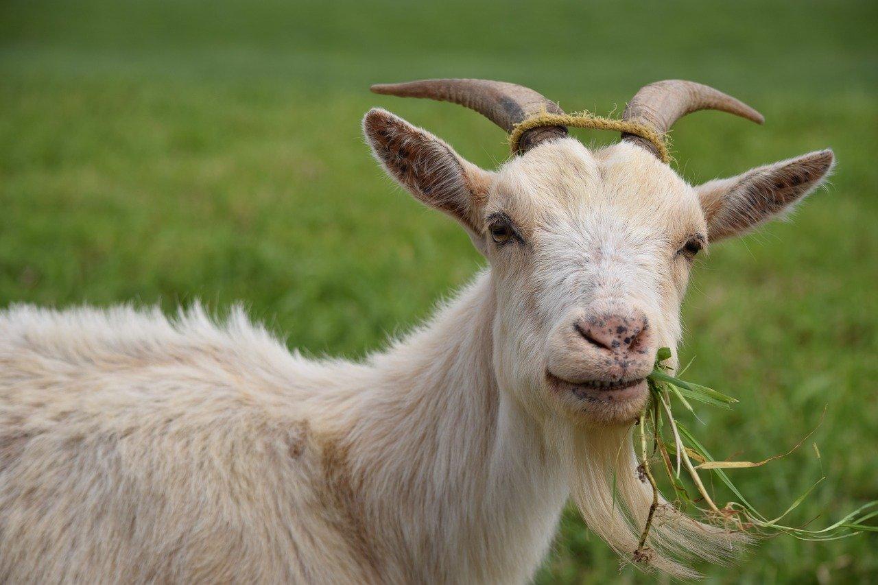 Umur Berapa Kambing, Sapi atau Domba Boleh Dikurbankan?