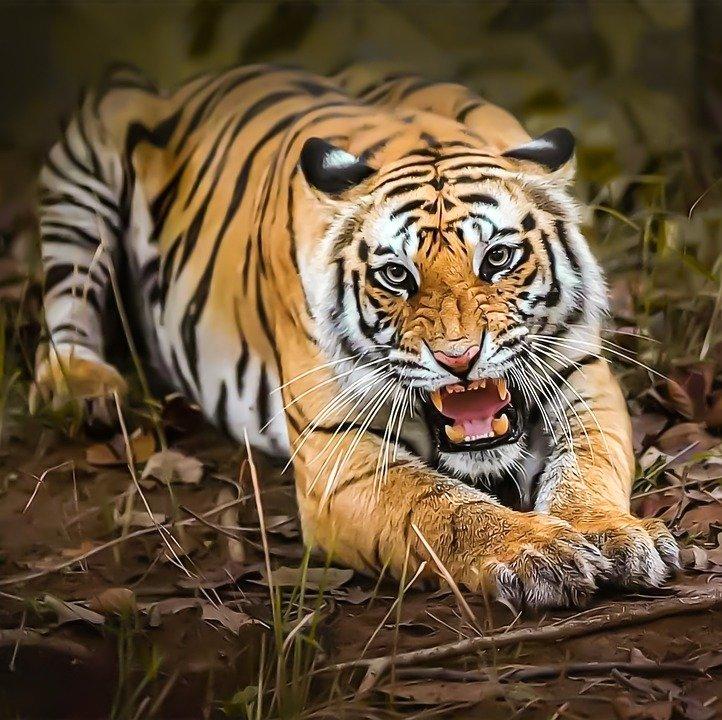Harimau Kembali Terkam Warga Merangin, Korban: Panjangnya 2 Meter